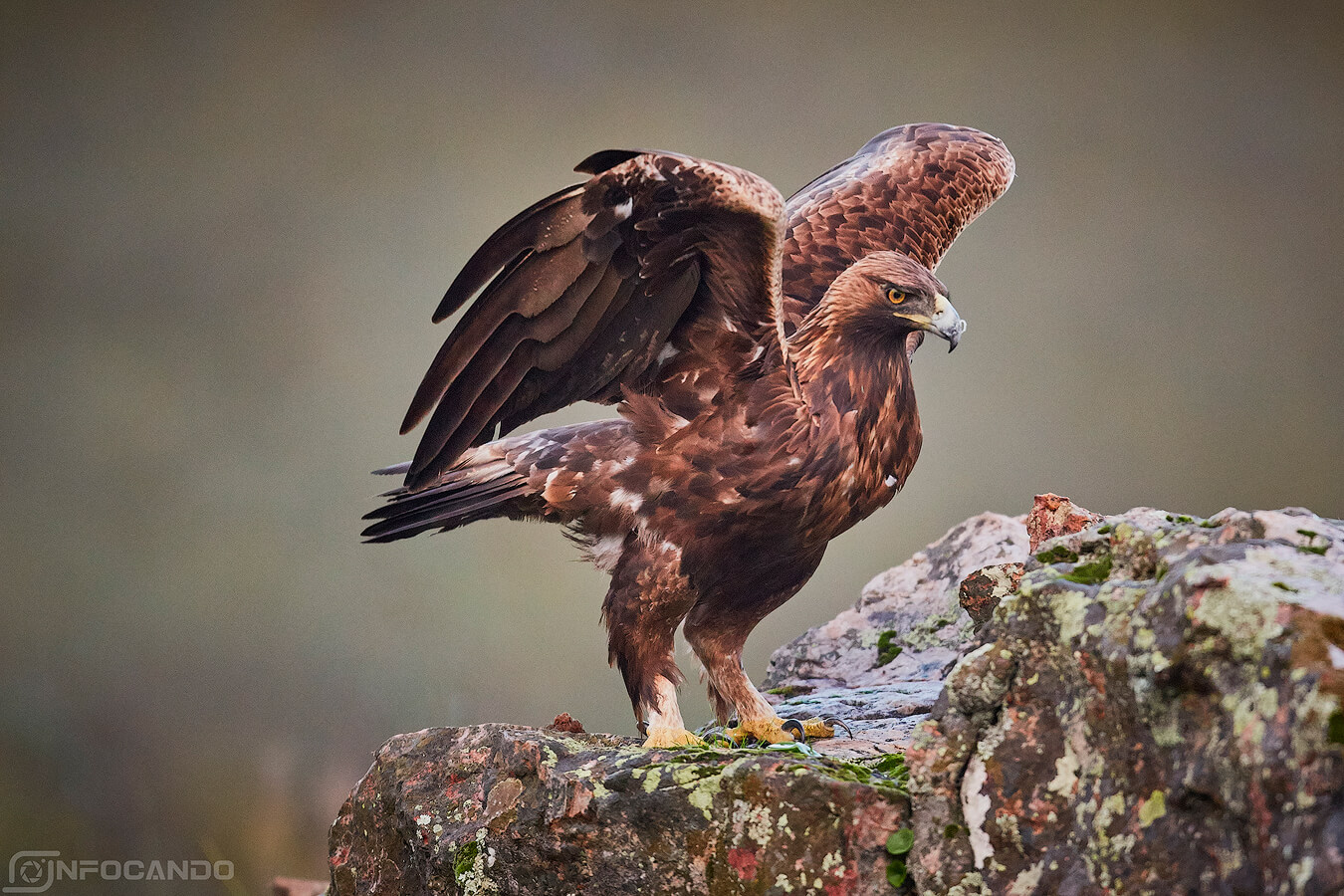 aguila caceres
