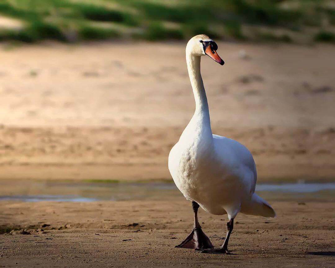 cisne paseando